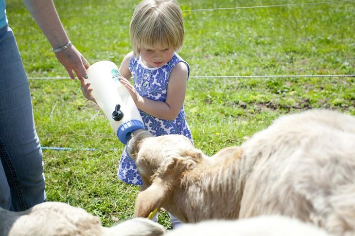 Девочка кормит барашку с соски