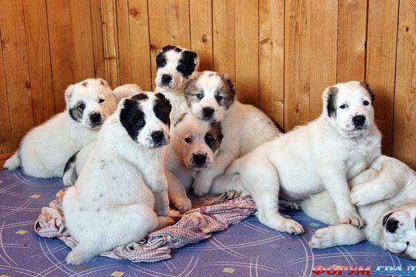 Продаются щенки туркменского алабая.