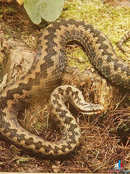 змеи подмосковья фото и описание