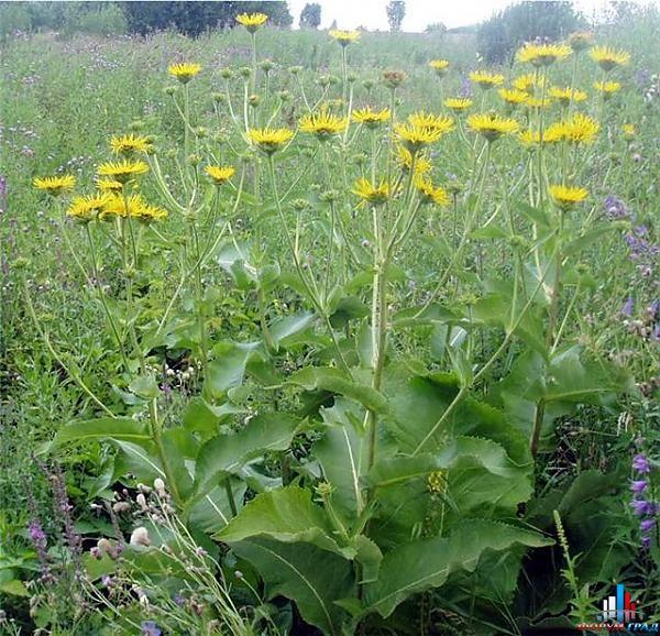 Растения обереги Bb253dd59490615aa0286ea75af81a23