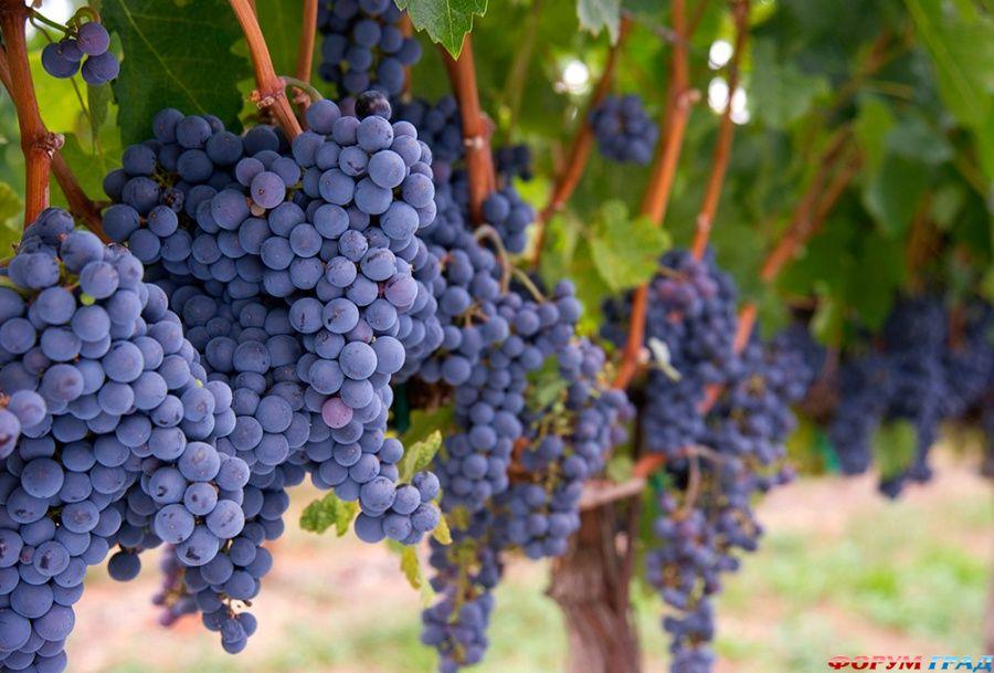 В Чечне начали убирать виноград