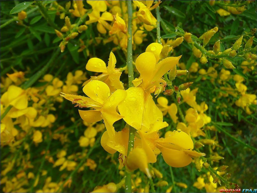 Дрок цветы