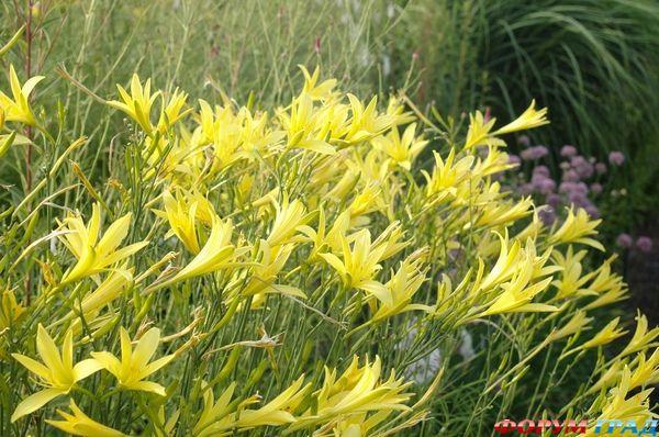 Махровая разновидность лилейника