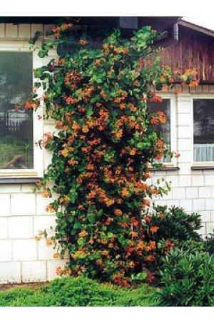 Жимолость - декоративная лоза, часто используется на решетках, домах и изгородях.  Хорошо растет на участках с ярким...