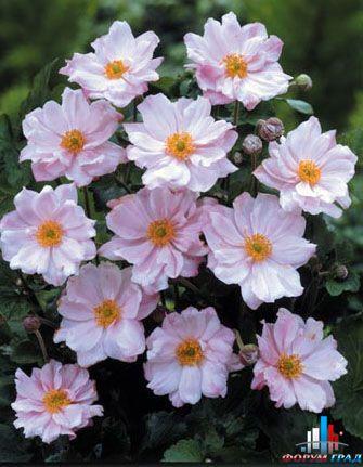 anemone hybrida konigin charlotte.  Анемона гибридная.