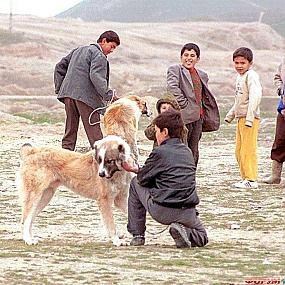 алабай в туркменистане.