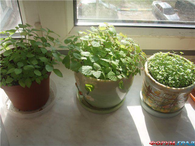 Мята как вырастить дома