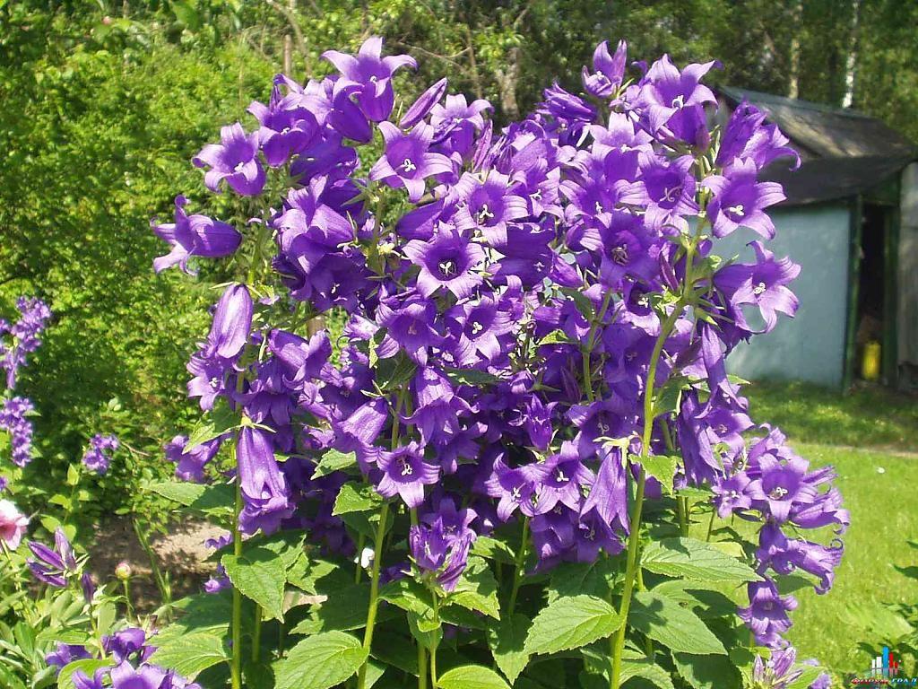 Среди множества садовых цветов у меня растет колокольчик широколистный, он мне очень нравится...