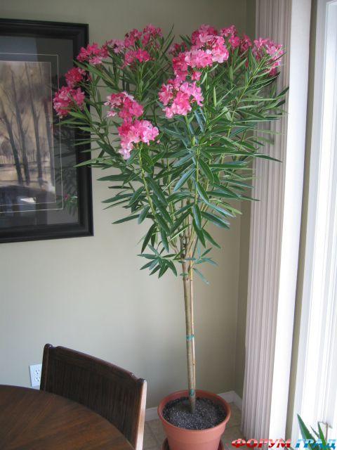 Большие комнатные цветы