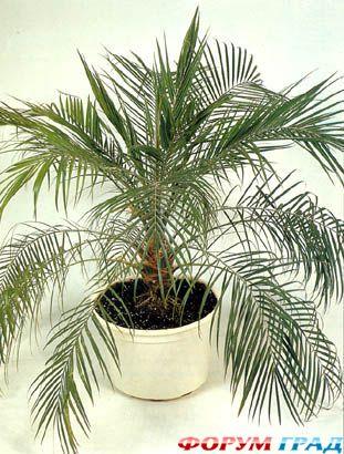 Но можно вырастить большую, красивую финиковую пальму у себя дома, причем, не прикладывая больших усилий.