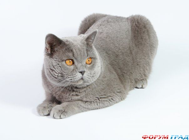 Из древнейших пород кошек в европе