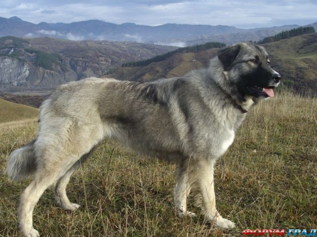 Балканы       Ciobanesc-carpatin-01