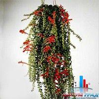 Комнатное растение башмачок фото