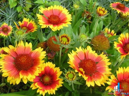 Фото красивых многолетних цветов для