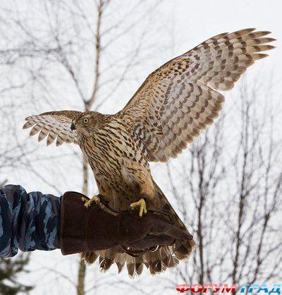соколиная охота, царская охота, охота с ловчей птицей.