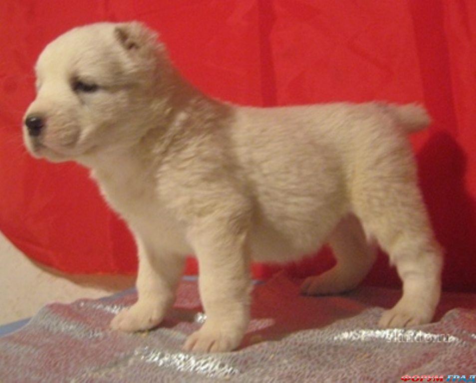 продам щенков алабая (среднеазиатская овчарка