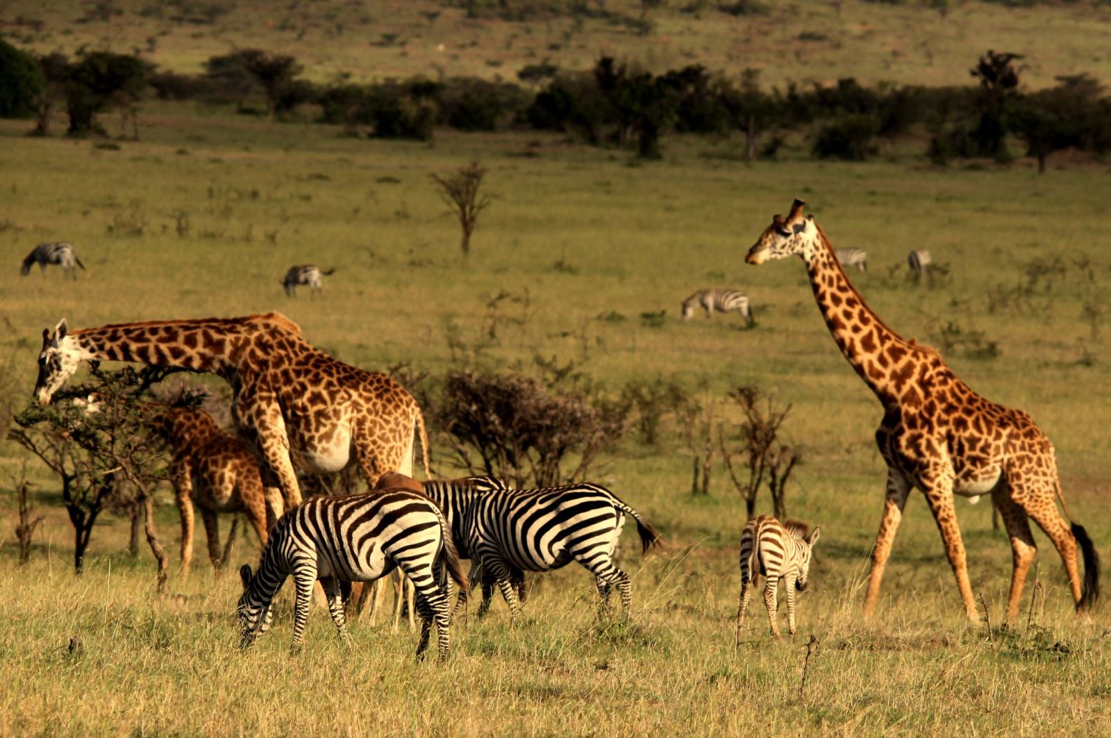 Животные сафари в Кении